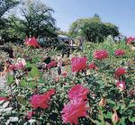 青空の下、大輪のバラに見入る来園者=25日午前10時、金沢市の金沢南総合運動公園