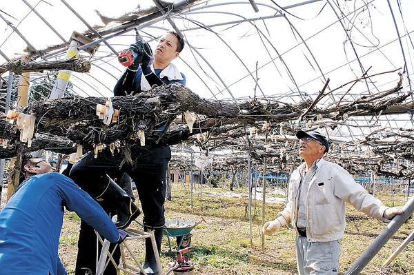 ハウスの修繕に取り組む松浦代表(右)=婦中町東山の音川観光ぶどう園
