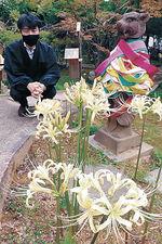 境内を彩る白いヒガンバナ=金沢市野町1丁目の曹洞宗香林寺