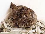那須どうぶつ王国で自然ふ化したニホンライチョウの母鳥とひな(左下)=16日、栃木県那須町(同園提供)
